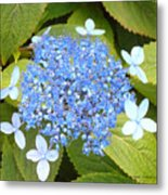 Blue Lacecap Hydrangeas Metal Print