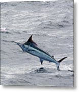 Blue Marlin At Oregon Inlet North Carolina Metal Print