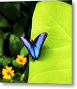 Blue Morpho Butterfly Metal Print