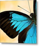 Blue Morpho Closeup Metal Print