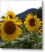 Blue Ridge Sunflowers  Metal Print