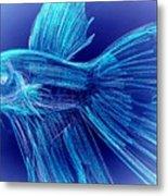 Blue Siamese Fighting Fish Metal Print