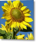 Blue Sky Sunflower Day Metal Print