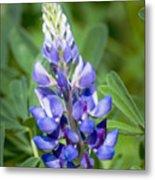 Blue Spring Flower Metal Print