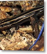 Blue Tailed Skink Metal Print
