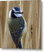 Blue Tit On Reed Metal Print