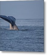 Blue Whale Tail Metal Print