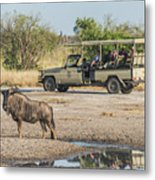 Blue Wildebeest Beside Puddle With Jeep Behind Metal Print