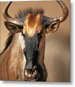 Blue Wildebeest Portrait Metal Print
