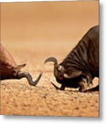 Blue Wildebeest Sparring With Red Hartebeest Metal Print