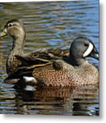 Blue Winged Teal Pair Metal Print