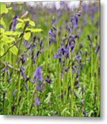Bluebells In Judy Woods Metal Print