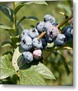 Blueberries On Blueberry Bush Metal Print