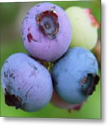 Blueberries On The Vine 2 Metal Print