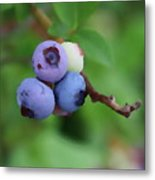 Blueberries On The Vine 3 Metal Print