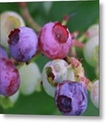 Blueberries On The Vine 5 Metal Print