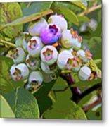Blueberries On The Vine 7 Metal Print