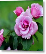 Blueberry Hill Roses Metal Print