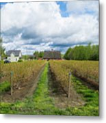 Blueberry Rows Metal Print