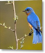 Bluebird Bliss Metal Print
