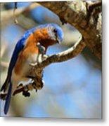 Bluebird Curiousity Metal Print