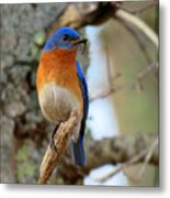 Bluebird Dad Metal Print