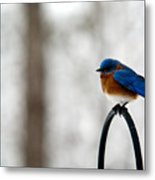 Bluebird Fluffed Metal Print