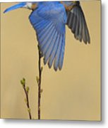 Bluebird Takes Flight Metal Print