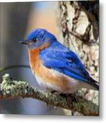 Bluebird Vibrance Metal Print