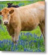 Bluebonnet Cow Metal Print