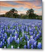 Bluebonnets On A Spring Evening 403-1 Metal Print