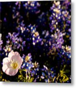 Bluebonnets With Buttercup Metal Print