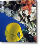 Bluecheek Butterflyfish Metal Print by Georgette Douwma