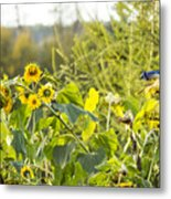 Bluejay And Sunflowers Metal Print