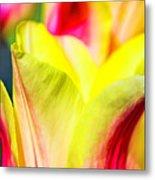 Blushing Lady Tulips Metal Print