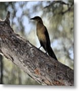 Boat - Tailed Grackle  Metal Print