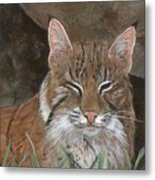 Bob Cat Metal Print