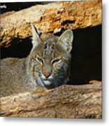 Bobcat Hiding In A Log Metal Print