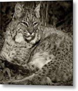 Bobcat In Black And White Metal Print