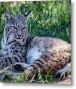 Bobcat In The Grass 2 Metal Print