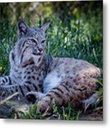 Bobcat In The Grass Metal Print