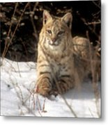 Bobcat In The Snow. Metal Print