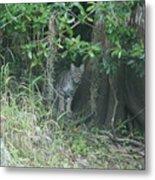 Bobcat In The Everglades Metal Print