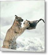 Bobcat Lynx Rufus Capturing Muskrat Metal Print by Michael Quinton