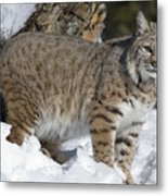 Bobcat Lynx Rufus In The Snow Metal Print by Matthias Breiter