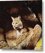 Bobcat Lynx Rufus Portrait On Rock Metal Print