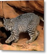 Bobcat Makes Its Move Metal Print
