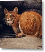 Bobcat On Ledge Metal Print