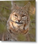 Bobcat Portrait Surrounded By Pine Metal Print by Max Allen