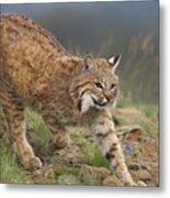 Bobcat Stalking North America Metal Print by Tim Fitzharris
